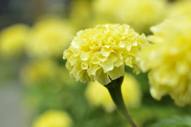 淡い色のかわいいマリーゴールドもあるよ マリーゴールドの特徴 花言葉 種類 育て方まで詳しくご紹介 バラと小さなガーデンづくり